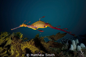 A weedy seadragon. Endemic to the southern coastlines of ... by Matthew Smith