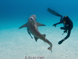 A Lemon Shark and a free diver by Boaz Meiri