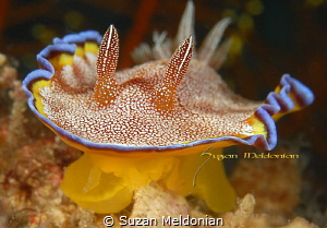 White Spotted Chromadoris by Suzan Meldonian