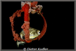 Puffer Fish sleeping at the wreck by Dieter Kudler
