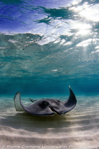 SCAR, a wounded stingray in Sandbar. by Pietro Cremone