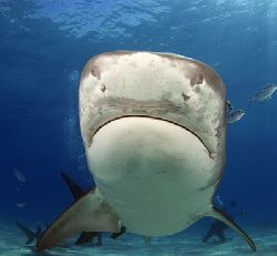 14 foot Tiger shark with her nose just inches from the do... by Todd Mintz