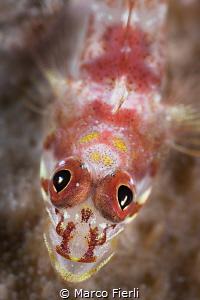 Triplefin, Eyes Detail by Marco Fierli