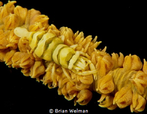 Whip Shrimp by Brian Welman