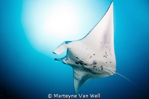 Majestic manta ray at Six Senses Laamu's Manta Point. Tak... by Marteyne Van Well