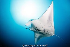 Majestic manta ray at Six Senses Laamu's Manta Point. Tak... by Marteyne Van Well