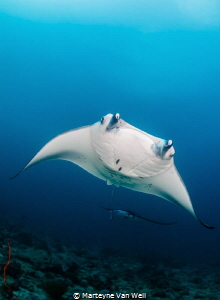 Two mantas swimming in a 'train'. Taken with Canon EOS 5D... by Marteyne Van Well
