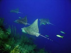 """Dropoff highway"", an eagle ray flight formation at the d... by Luiz Rocha"