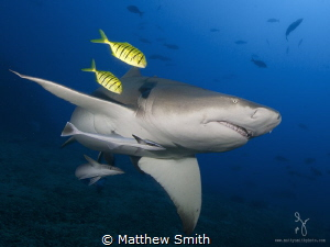 A lemon shark beautifully accented by 2 juvenile trevalli... by Matthew Smith