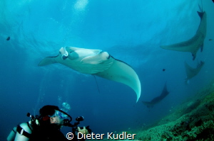 Manta Rays with Diver by Dieter Kudler