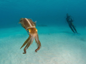 Caribbean reef squid close to shore near the Salt Pier in... by Paul Colley