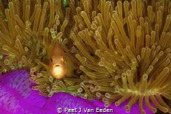 Clown fish by Peet J Van Eeden
