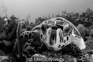 Hawskbill encounter at North Wall reeftop by Ellen Cuylaerts