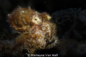 Blue ring octopus on the move at Pintu Colada in Lembeh S... by Marteyne Van Well