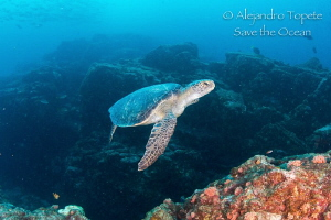 Turtle in the Bajo, La Paz Mexico by Alejandro Topete