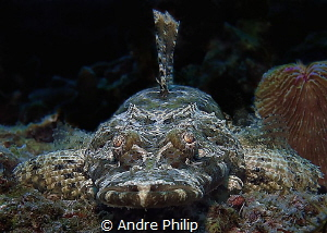 On eye level with a young crocodilefish by Andre Philip