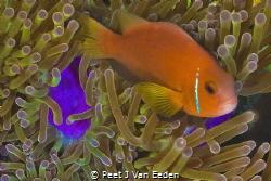 Clown fish and its home by Peet J Van Eeden