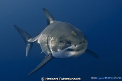 Great White Shark Guadalupe Mexico by Herbert Futterknecht