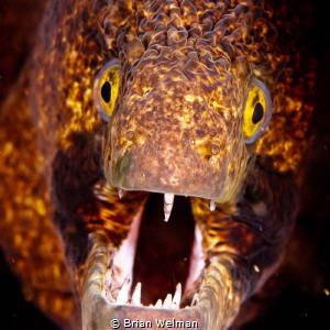 Black Cheek Moray Eel Portrait by Brian Welman