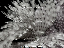 featherworm close up in B&W by Claudia Weber-Gebert
