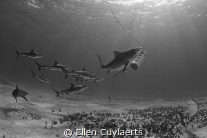 'Shool's out' Emma, most famous tigershark, getting a gr... by Ellen Cuylaerts