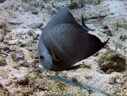 Grey Angelfish taken off the beach in Cozumel while shore... by Ronald Smith