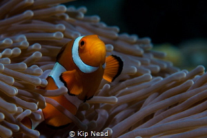 For those of you who have tried to shoot clownfish, you'l... by Kip Nead