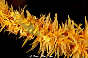 Adult and Juvenile Shrimp on whip coral by Brian Welman