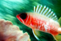 Slow Shutter Blurred Squirrelfish taken in the Turks & Ca... by Karl Dietz