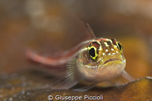 Striped triplefin, Sebayur Island, Komodo area, Indonesia by Giuseppe Piccioli