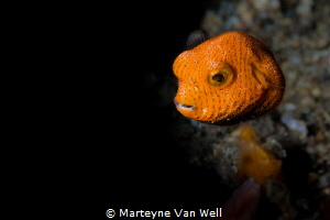 A juvenile starry pufferfish looking at the camera. Taken... by Marteyne Van Well