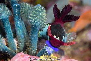 A nembrotha chamberlain nudi munching on a tunicate in An... by Marteyne Van Well