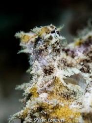 Coconut Octopus - Amphioctopus marginatus. Chaloklum, Tha... by Stefan Follows