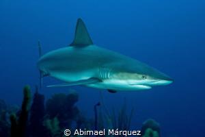 Caribbean Reef Shark, Efra's Wall, Guánica. by Abimael Márquez