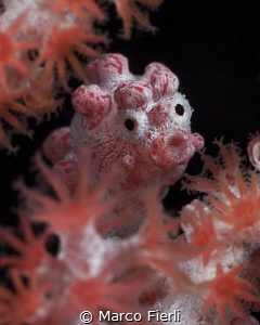 Bargibant's Pigmy Sea Horse, portrait by Marco Fierli