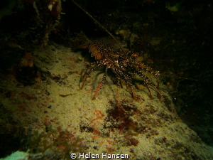 Spotted Spiney lobster by Helen Hansen