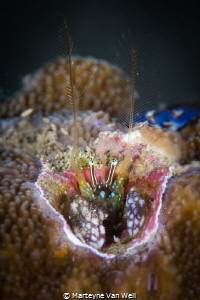 A very small coral hermit crab taken at Basura in Anilao,... by Marteyne Van Well