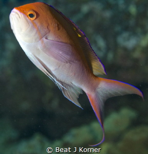 Bicolor Anthias performs a 'pirouette'. by Beat J Korner