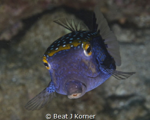 """I can fly"" - Male Boxfish in pose. by Beat J Korner"