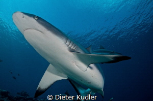 Shark at Vertigo, Yap Island by Dieter Kudler