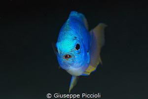 Chromed in blue by Giuseppe Piccioli