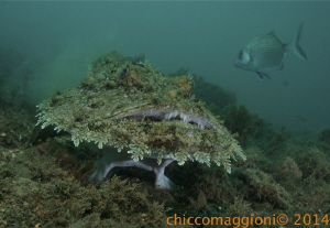 Angler fish in mediterranean sea. This pic shows that its... by Chicco Maggioni