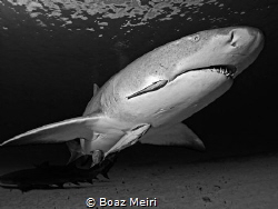 Lemon shark by Boaz Meiri
