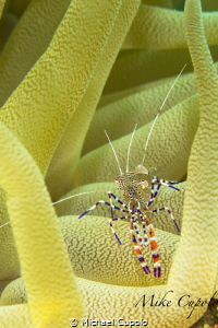 Spotted Cleaner Shrimp on an Anemone by Michael Cupolo