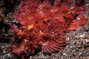 Rhinopias frondosa or weedy scorpianfish by Kip Nead