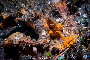 Rhinopias frondosa or weedy scorpionfish by Kip Nead