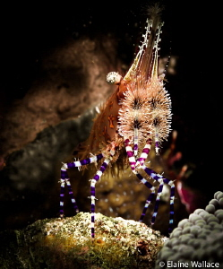 Marble shrimp at night by Elaine Wallace
