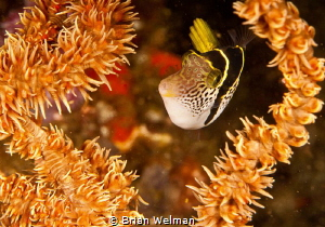 Mimic File Fish framed with Whip coral by Brian Welman