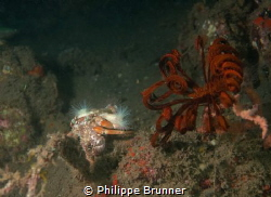 Bernard and the crinoid walking by Philippe Brunner