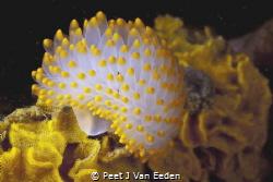 Yellow variant of a gas flame nudibranch by Peet J Van Eeden